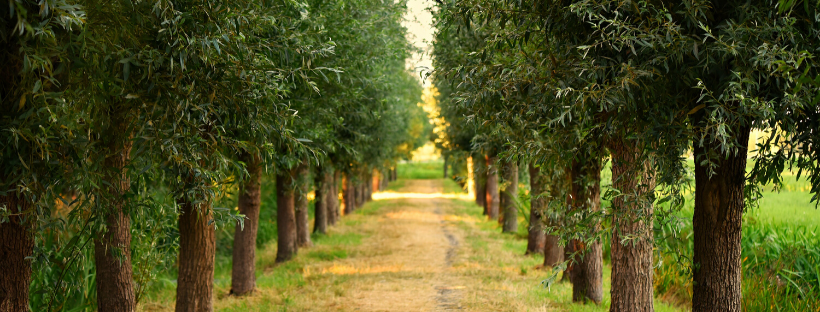 Trees surrounding a walkway